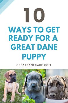 How to get ready for a Great Dane puppy - Great Dane Care Training Your Puppy, Dog Training Tips, Puppy Stages, Dane Puppies, Dog Information, What Dogs, Great Dane Puppy, Purebred Dogs, Dog Hacks