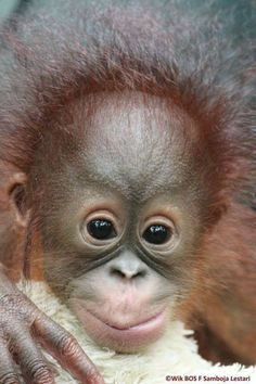 Just love orangutans. They've got great hair. Primates, Mammals, Cute Baby Animals, Animals And Pets, Funny Animals, Baby Chimpanzee, Monkey See Monkey Do, Baboon, Funny Animal Pictures