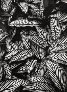 Perennial Flower Gardening - 5 Methods For A Great Backyard Don Worth - Calathea Vittata, Oahu 1977 Garden Plants, Indoor Plants, Indoor Flowers, Gothic Garden, Plant Aesthetic, White Plants, Black Garden, Calathea, Black Flowers