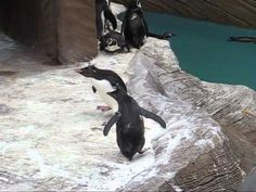 Penguins Chasing A Butterfly Is Pretty Much The Cutest Thing Ever ***hophophophophophophop***