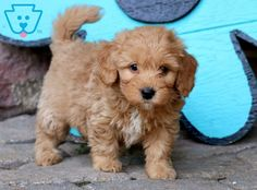 Look at this little fella! He is a Mini Goldendoodle ready to meet his new best friend. This baby is raised with & played with daily by children. Chien Goldendoodle, Miniature Goldendoodle Puppies, Miniature Puppies, Goldendoodle Puppy For Sale, Miniature Dogs For Sale, Goldendoodles For Sale, Maltipoo Puppies, Labradoodles, Cavapoo