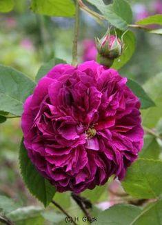 Rose Crown Princess Magareta R 5 Liter Container ~  zauberhaft in apricot or