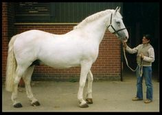 Irish Draught stallion Gort Boy