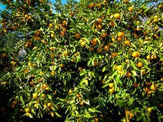 Okitsu Satsuma Mandarin Tree Citrus Trees, Fruit Trees, Trees Online, Homesteading, Plants, Flora, Plant, Planting