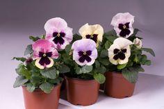 Így szaporítsd magról az árvácskát! Csak egy trükköt kell ismerned a sikerhez! Planter Pots, Gardening, Flowers, Outdoor, Garten, Lawn And Garden, Royal Icing Flowers, The Great Outdoors, Flower