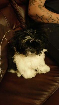 Toby zuchon puppy