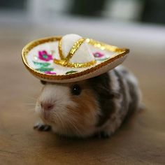 10 Guinea Pigs Wearing Funny Hats