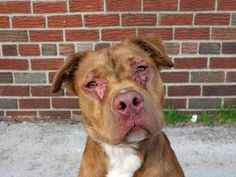 Brooklyn Center, NY: URGENT! DILLION is PAST DUE! HAS ONLY 171 SHARES!  Skin condition is NOT demodex mange ... most likely allergies. (perhaps exposed to an irritant?) Animal ID# A0996613. FRIENDLY. EATING WITH GOOD APPETITE. Share for RESCUE ADOPT FOSTER SPONSORS!                                         FB link: https://www.facebook.com/photo.php?fbid=787447277934820&set=a.617941078218775.1073741869.152876678058553&type=1&relevant_count=1  See Dillion's VIDEO: http://youtu.be/Mt13ce2epyc