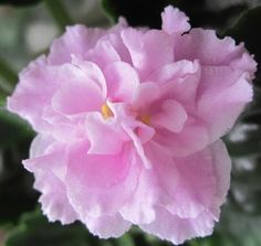 African Violet ~ House Plant Rozovaia Pantera:  Russian Standard large, variegated plain medium green and white bright pink with a white eye and edge semidouble to double