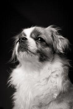 Tibetan Spaniel-looks like my baby!