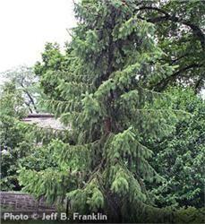 Serbian Spruce - Picea omorika.  The Arbor Day Foundation.