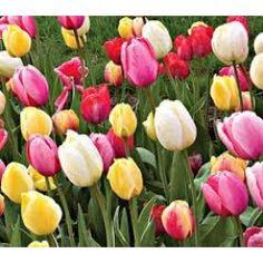 Spring Brights Darwin Hybrid Tulip Mix, Size By White Flower Farm Spring Flowering Bulbs, Spring Bulbs, Light Bulb Plant, Bulbous Plants, White Flower Farm, Bulbs For Sale, Tulip Bulbs, Yellow Tulips, Beautiful Flowers Garden