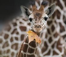 Inspiring image autumn, baby, fall, giraffe, leaf #265497 - Resolution 500x500px - Find the image to your taste