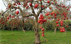 Plantation of fruit trees and farming play important role in our life as it has become the essence of healthy life. From the origin of the world, plantation and trees were the sources of people livelihood… Apple Fruit, Red Apple, Cherry Fruit, Tree Wallpaper, Cool Wallpaper, Ornamental Kale, Rose Family, Green Lawn, Fruit Garden