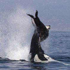Female killer whale tosses adult male sea lion out of water. Photo © Daniel Bianchetta
