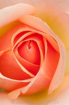 """Rosa """"Tahiti"""" - Rose"""