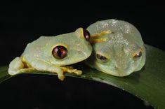 Leptopelis uluguruensis by Jaroslav Vogeltanz Red Eyed Tree Frog, Singular, Frog And Toad, Tree Frogs, Zoo Animals, Amphibians, Drake, Bugs, Lizards