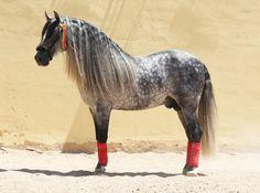 One of the best PRE dressage stallions worldwide! 9yo, 1,64, son of a famous ESCALERA Stallion!    Pinito,PRE stallion bred by famous DIOSDADO stud