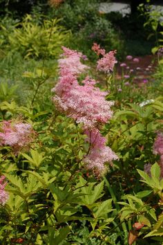 Queen-of-the-prairie (Filipendula rubra) is a native of the eastern U.S. It can reach as much as 8 feet tall and likes a lot of water. Read about examples of other wet-area plants at http://landscaping.about.com/cs/lazylandscaping/a/wet_area_plants.htm
