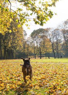 boxer joy during autumn