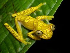 Reptiles And Amphibians, Mammals, Pet Frogs, Amazing Frog, Funny Frogs, Wild Creatures, Frog And Toad, Tortoises, Nature Animals