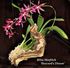 mounting orchids on driftwood | Orchids grow naturally on tree branches and mounting them on various ...