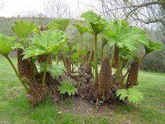 Giant Gunnera Plant | ... of Giant Rhubarb, Giant Gunnera, Dinosaur Food ( Gunnera manicata