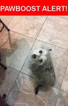 Is this your lost pet? Found in Grand Prairie, TX 75052. Please spread the word so we can find the owner!  Wirey grey and white hair, little buldge eyes, long wavy tail. She is friendly and has manners. She gets along with my big dog and has all her teeth. I assume she is about 2 years old. She looks like a little coyote.   Nearest Address: Near Barn Owl Trl & Spanish Trl