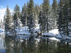 My Snowy Trees, West Yellowstone National Park