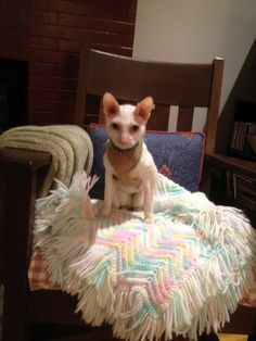 sometime a Cornish Rex has to wear a sweater. Just saying.