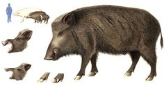 Hawaii is infested with wild boars.