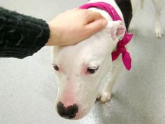 GONE --- URGENT - Manhattan Center    DESTINY - A0994723   *** SAFER: EXPERIENCED HOME, NO CHILDREN ***   SPAYED FEMALE, WHITE / BLACK, PIT BULL MIX, 3 yrs  OWNER SUR - EVALUATE, HOLD FOR DOH-HB  Reason BITEANIMAL   Intake condition NONE Intake Date 03/23/2014, From NY 10454, DueOut Date ,  https://www.facebook.com/photo.php?fbid=781591081853773&set=a.617938651552351.1073741868.152876678058553&type=3&permPage=1