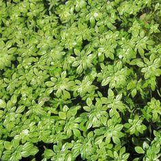 CALLITRICHE PALUSTRIS (Starwort - British Native)