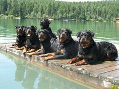 The rottweiler swim team! !