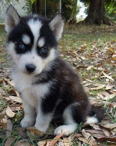 Cute Husky Puppies With Blue Eyes In Snow