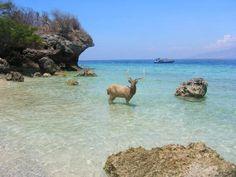 L'île de Menjangan, en indonésien, est littéralement l'île de cerfs. C'est une vue rare.