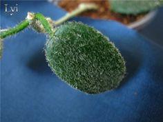 Hoya lyi