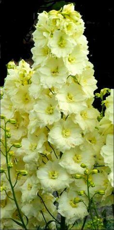 #Delphinium http://www.bricopage.com/plantas/flores/delphinium-sungleam.htm