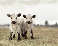 Cow Art White Twin Calves French Country Decor 8x10 Fine Art Photography via Etsy
