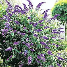 Blue Butterfly Bush - Attracts Droves of Butterflies; Prefers full to partial sun; Blossoms when most shrubs have finished flowering for the season—late summer—for a welcome flush of color.