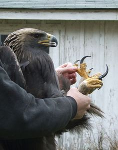 Wow! a beautifully designed creature, the American Eagle, has talons shaped for clutching and clinging.:
