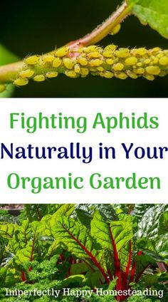 Fighting aphids naturally in your organic garden. Great for vegetable gardening and homesteaders.