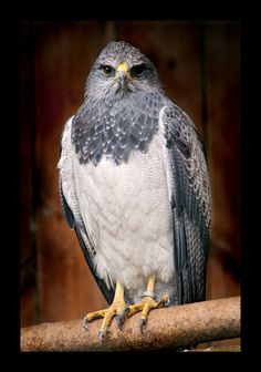Gray and white eagle | Flickr - Photo Sharing!