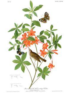 Swainson's Warbler - Sylvia swansonii (Lymnopthlypis swansonii) or Brown headed worm eating warbler on Azalia calendula - Orange Coloured...