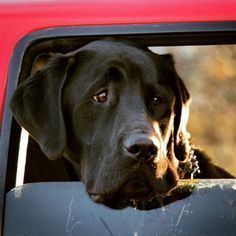 Mind Blowing Facts About Labrador Retrievers And Ideas. Amazing Facts About Labrador Retrievers And Ideas. Big Dogs, I Love Dogs, Cute Dogs, Black Lab Puppies, Dogs And Puppies, Black Labrador Retriever, Labrador Retrievers, Labrador Dogs, Homeless Dogs