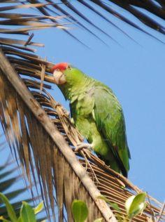 Wild Parrots of Ocean Beach, San Diego: