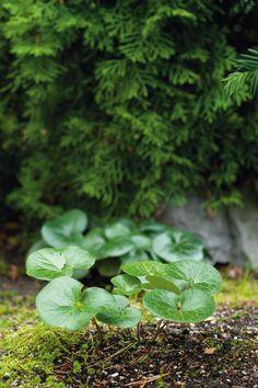 Taponlehden lehdet levittäytyvät matalaksi mattomaiseksi kasvustoksi havujen…