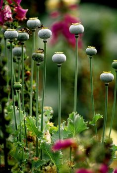 Poppies by Art-Photo on DeviantArt Red Flowers, Beautiful Flowers, Garden Journal, Seed Pods, Cool Plants, Flower Pictures, Beautiful Gardens, Perennials, Gardens