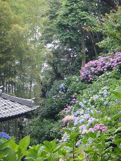 Hydrangea - Hase Temple  紫陽花