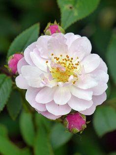 Damask Rose 'Celsiana'